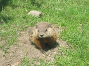 Juan the groundhog