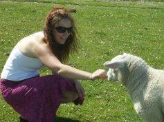 scotland sheep