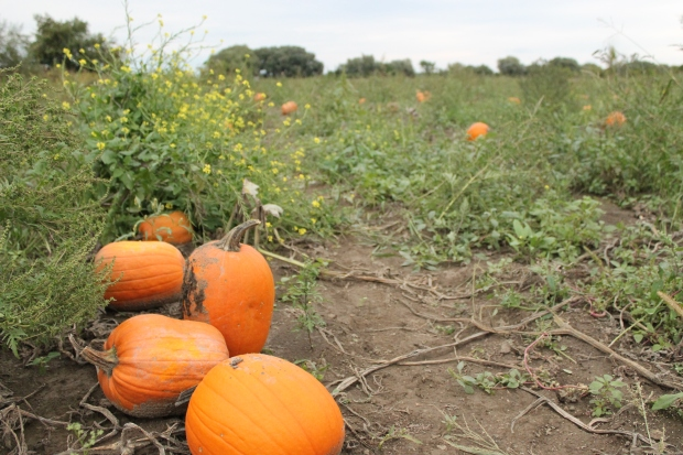 Pumpkins, pumpkins, everywhere.