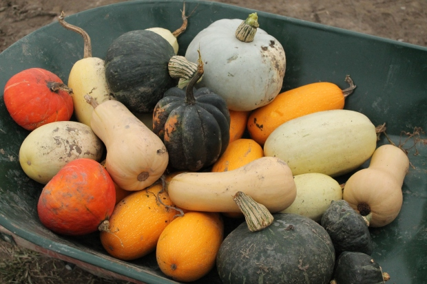 Here is a picture of lots of different kinds of squash I don't like. I don't like squashes. These are not mine. I just took the picture.