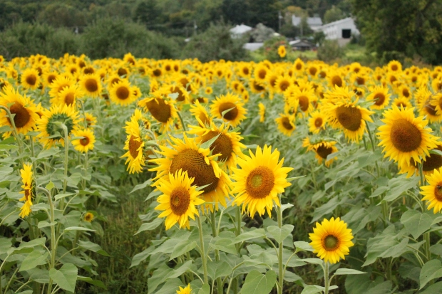 Pretty sunflowers.